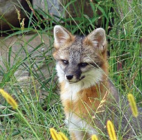 A gray fox sits in secluded Maine woodlands.