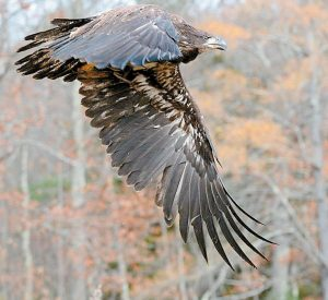 A JUVENILE BALD EAGLE in Bowdoinham. A bird sounds walk will be held on Saturday.