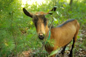 Ray, one of Heather Lombard's seven goats, eats pine needles from a small tree at a home in Kittery on Friday.