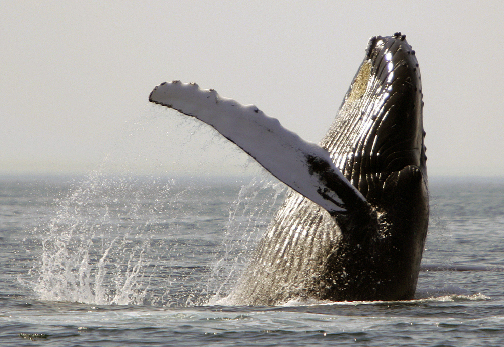 A new study offers the first evidence that noise could be harming the feeding behavior of humpback whales.