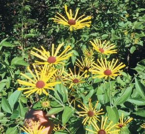 "ALSO IN BLOOM is ""Henry Eilers,"" a named variety of Rudbeckia subtomentosa. It was found growing in the wild in Montgomery County, Illinois, by Mr. Eilers, and introduced to the gardening world in 2003."