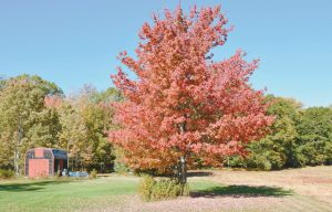 THIS TREE near Wolfe's Neck Woods State Park in Freeport is already in peak form.