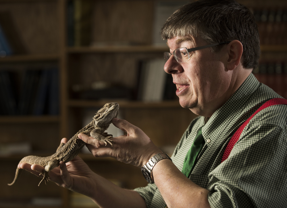 Ian Bricknell interacts with a bearded dragon named Zeppelin at his office at the University of Maine. Bricknell has volunteered to be on a state commitee reviewing exotic animals in Maine.