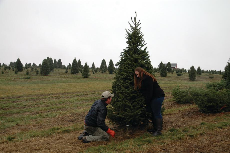 LIZ GOTTHELF/Journal TribuneSarah Drouin of Standish holds a tree while her husband, Chris, cuts it at Boiling Spring Tree Farm in Dayton Tuesday.