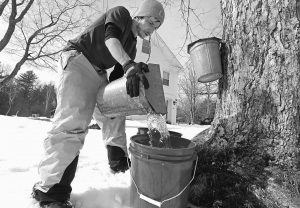 PARKER'S MAPLE BARN employee Kyle Gay pours maple tree sap into a larger bucket on Tuesday in Brookline, New Hampshire.