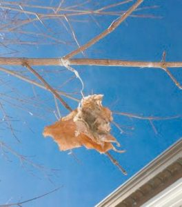 BROWNTAIL moth winter web.