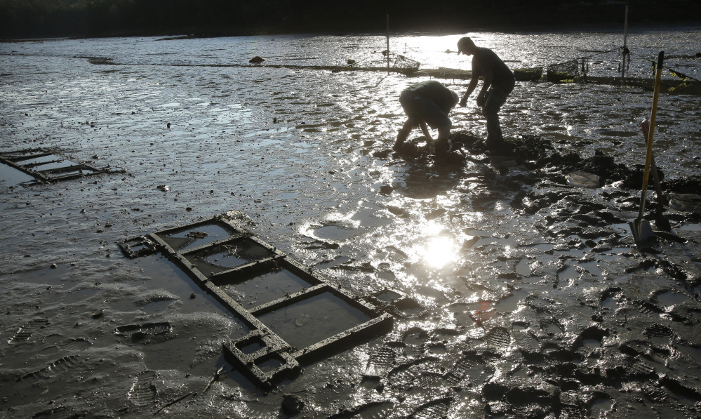 Mick Devin, a marine biologist and shellfish hatchery manager, and Dana Morse, an extension associate with Maine Sea Grant, place razor clams in a test area at Lowe's Cove in Walpole in 2015. Sea Grant programs across the country received $67.3 million in federal funds in 2015, which helped support $575 million in economic development and over 20,000 jobs.