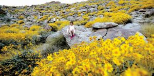ZOEY SPEER, of Temecula, California, clamors among rocks and blooming desert shrubs in Borrego Springs, California. Rain-fed wildflowers have been sprouting from California's desert sands after lying dormant for years — producing a spectacular display that has been drawing record crowds and traffic jams in area desert towns.