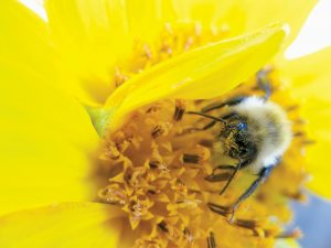 "JUDY PLOUFFE'S PHOTOGRAPH ""POLLEN, BEE AND SUNFLOWER"" will be on display at Freeport Community Library throughout the month of March."