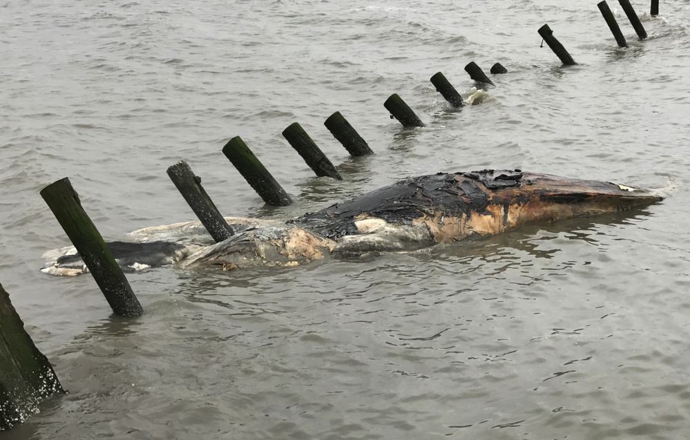A dead humpback whale floats near the shore at Port Mahon, Del. They are popular with whale-watchers because of the dramatic way they breach the ocean's surface.