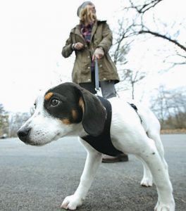 KATE FREDETTE, of Waltham, Massachusetts, walks the family dog, Roscoe, near their home. The Fredette family found the dog through the online platform How I Met My Dog, that is designed to match humans with dogs based on what really matters: personality, lifestyle and behavior.