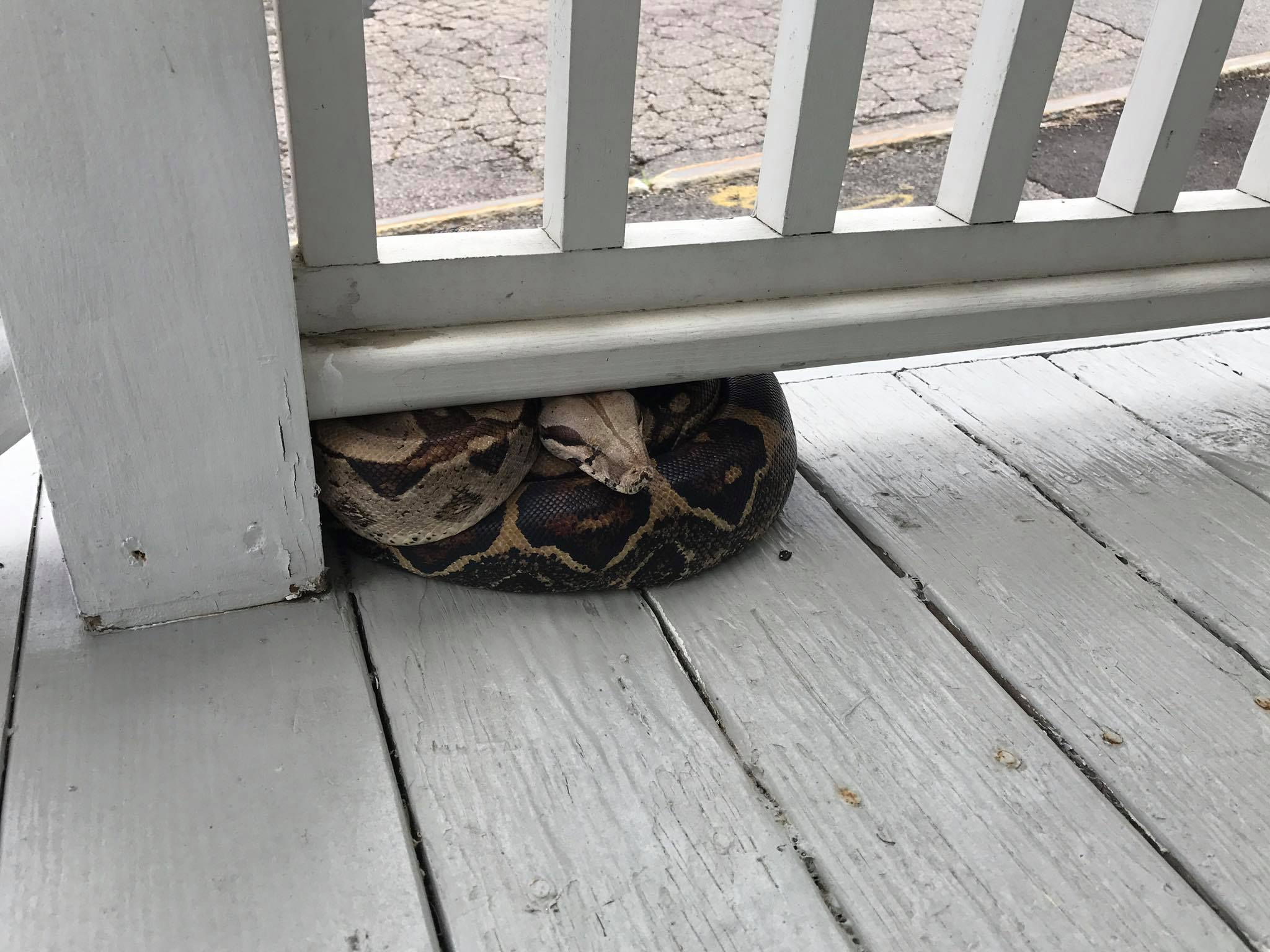 A five-foot red-tailed boa constrictor is pictured on the porch of 68 High St. in Biddeford on Tuesday. SUBMITTED PHOTO/Courtesy of Southern Maine Animal Welfare Group