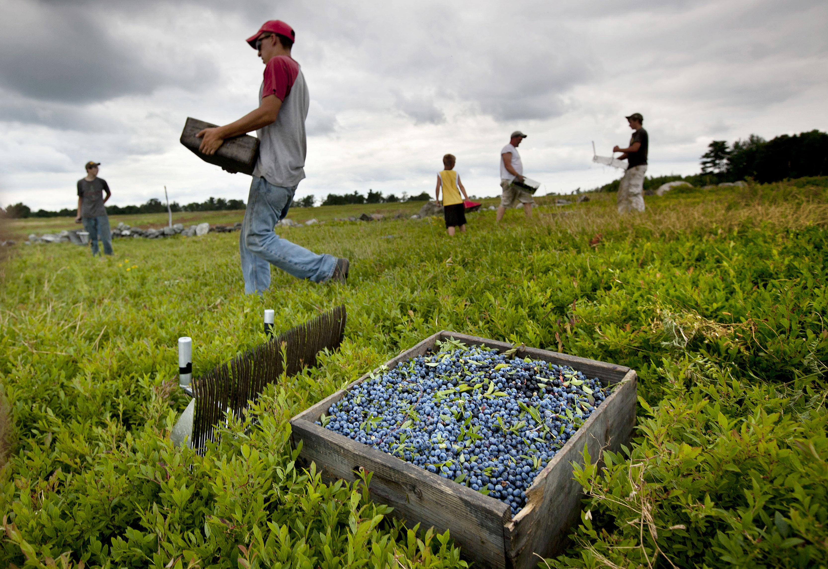 In this July 27, 2012, file photo, workers harvest wild blueberries at the Ridgeberry Farm in Appleton. A trade group said the state's wild blueberry crop fell sharply during the summer of 2017, to land below 100 million pounds for the first time in four years. AP WIREPHOTO