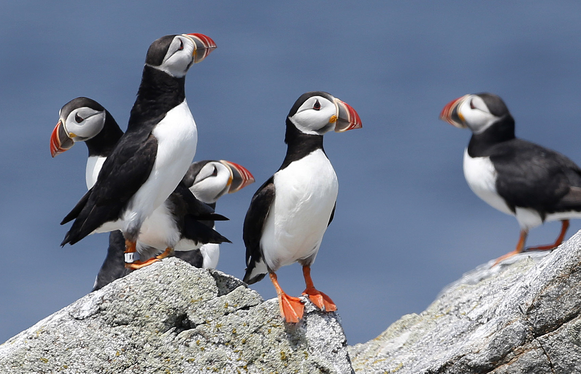In this Aug. 1, 2014, file photo, Atlantic puffins congregate near their burrows on Eastern Egg Rock, a small island off the coast of Maine. The Audubon Society said 2017 was a great year for puffin reproduction. It's a rare bit of good news for the birds who have struggled in recent years due to changes in food availability. AP WIREPHOTO