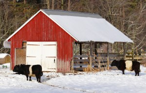 You saw the surf — and now here is the turf. These Belted Galloways were enjoying a Christmas Eve lunch on the farm in Arundel on Christmas Eve day. TAMMY WELLS/Journal Tribune