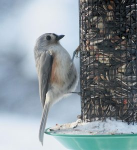 A TUFTED TITMOUSE peruses a bird feeder Sunday in Bath during the recent cold snap. The Associated Press reports the extended deep freeze has given way to warmer weather, and that some New England areas could see temperatures in the 50s by the week's end, according to the National Weather Service. Don't get too comfortable, however, as next week may see cooler temperatures.