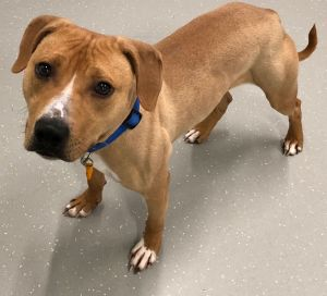 Smith is a 3-year-old dog looking for a forever home at the Animal Welfare Society of West Kennebunk. SUBMITTED PHOTO