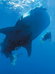 A PHOTO of a whale shark in Triton Bay, Indonesia, taken by Bret Gilliam. CONTRIBUTED PHOTO / BRET GILLIAM