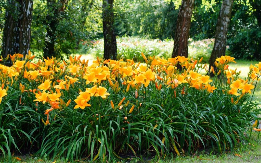 The presence of daylilies can be a clue that an overgrown area in someone's yard (not yours, of course!) was once a garden.