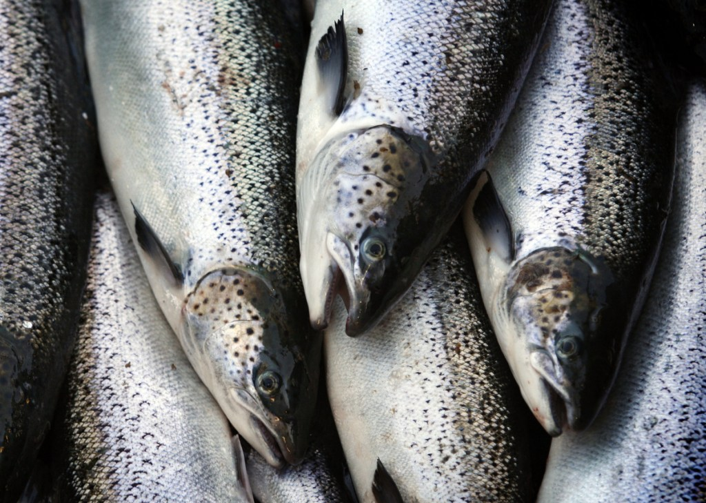 Farm-raised Atlantic salmon move across a conveyor belt as they are brought aboard a harvesting boat near Eastport. Maine-farmed seafood can become a truly world-class brand, a reader says.