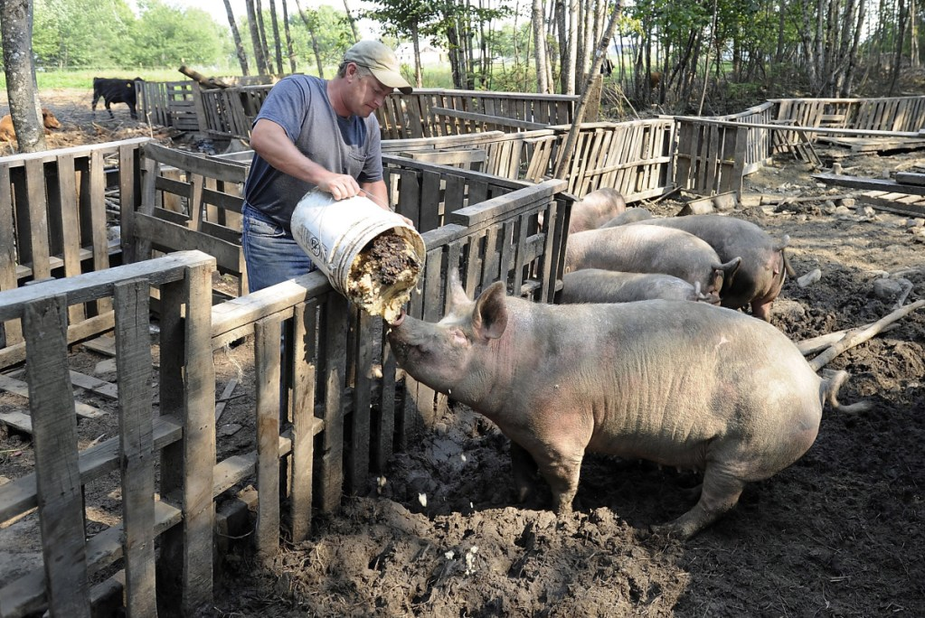 Swanville farmer Jerry Ireland feeds his pigs in this file photo from the summer of 2015. In March, state animal welfare officials investigating complaints about Ireland discovered a dozen pigs had been killed and buried at the farm, leading to charges of animal cruelty later in the spring. Through his attorney, Ireland has pleaded not guilty in Belfast District Court.