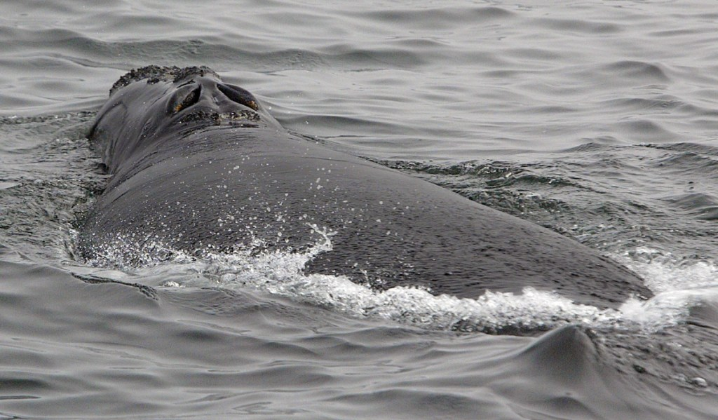 The blowhole of a North Atlantic right whale is seen from a research vessel as the whale moves away from the boat off shore from Provincetown, Mass., in Cape Cod Bay. A new study published Tuesday indicates that under the right conditions scientists can quickly obtain hormonal data by collecting the spray from whales' blowholes at sea.