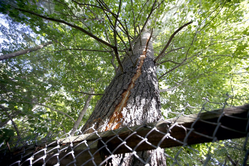The bark of a coniferous tree at Smiling Hill Farm shows scarring from a lightning strike.