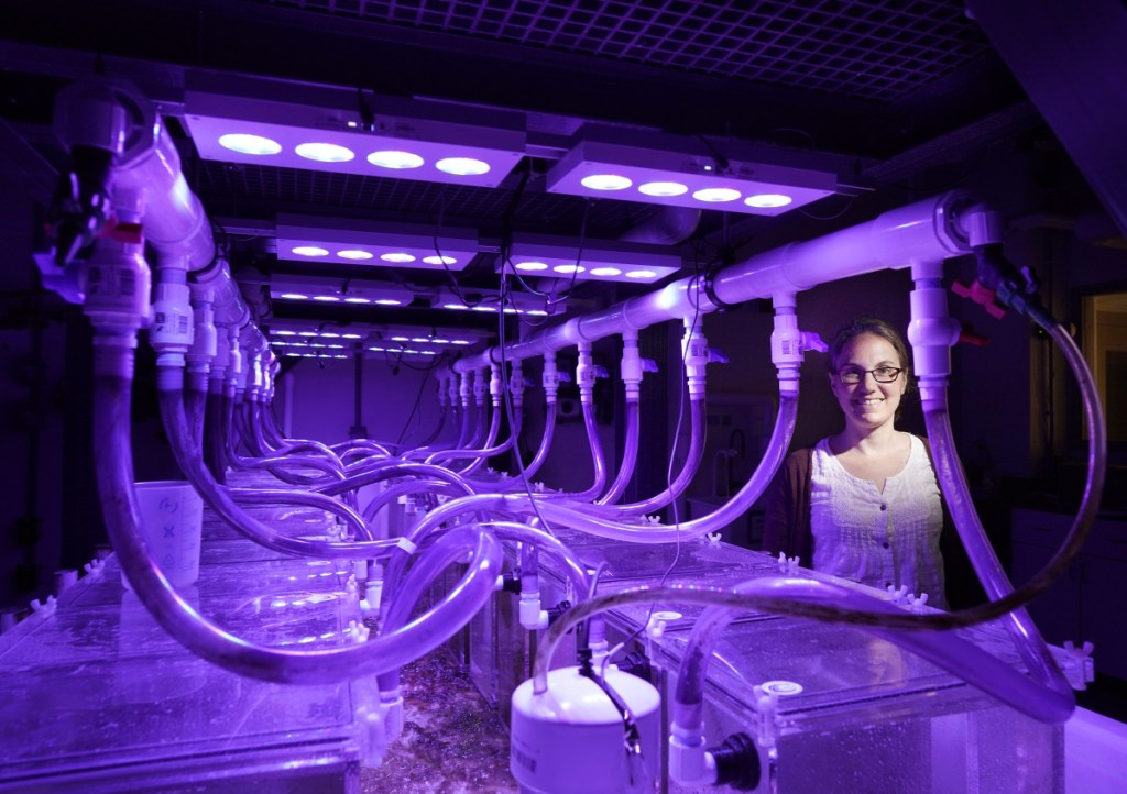 Senior research scientist Nichole Price at the Bigelow Laboratory for Ocean Sciences in East Boothbay on July 17. Price is using these individual aquariums to study the ability of kelp to remove inorganic carbon from water, which could benefit aquaculture.