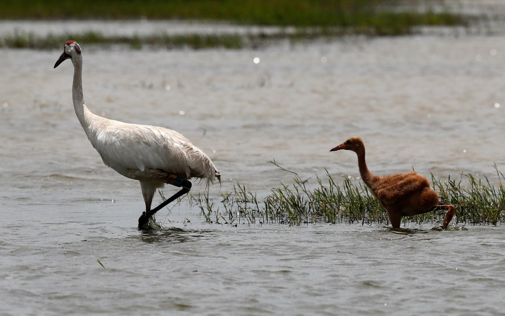 An adult whooping crane, a critically endangered species, walks through a crawfish pond with its recently born chick, in Jefferson Davis Parish, La. in June.