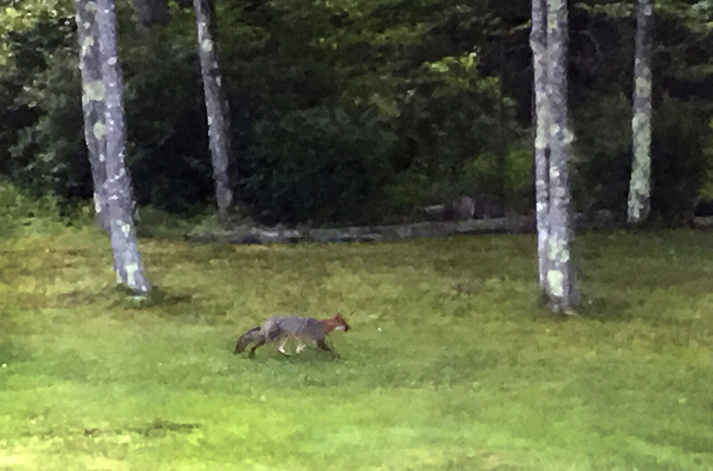 The fox believed to be the one that bit three people along Moody Road in Brunswick walks through the yard of Alex Hallett at 119 Moody Road late Friday afternoon. Hallett took the photo from a second-floor window of his house.