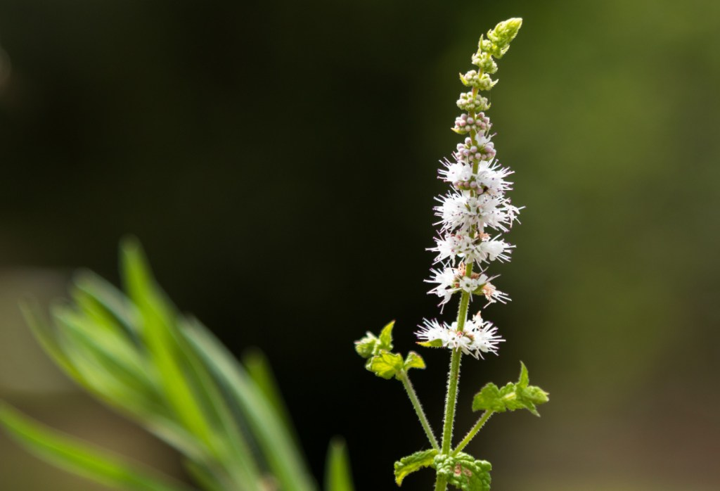 At this time of year, bugbane is one of the few herbaceous perennials blooming in shade gardens.