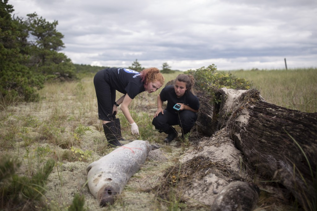 Kat King, left, and Katie Gilbert, interns from Marine Mammals of Maine, examine the body of a seal that washed up on Aug. 17 at Scarborough Beach State Park. Distemper virus was suspected as the cause of hundreds of seals' deaths along the New England coast.