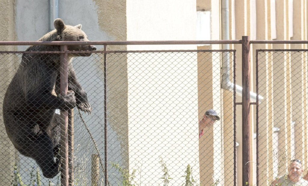 A brown bear, that was later killed, scales a fence at a high school in Romania on Tuesday.