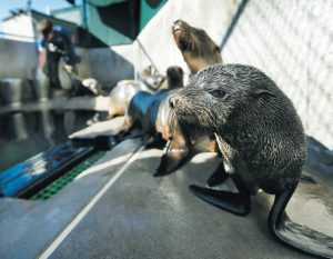"""A GUADALUPE FUR SEAL, foreground, passes by as SeaWorld animal rescue team member Heather Ruce feeds a California sea lion at a rescue facility in San Diego, with rescue crews seeing a higher than average amount of stranded sea lions. Marine biologists nicknamed a patch of persistent high temperatures in the Pacific Ocean between 2013 and 2016 """"the Blob."""" During that period, decreased phytoplankton production led to a """"lack of food for many species,"""" from fish to marine mammals. AP FILE PHOTO"""