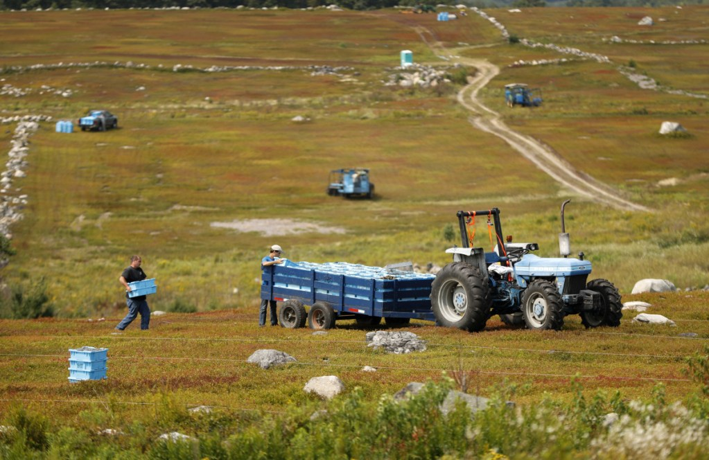 """In this Friday, Aug. 24, 2018, photo, Ken Cox carries trays of wild blueberries to a tractor at a farm in Union, Maine. The blueberries grow wild, as the name implies, in fields called """"blueberry barrens"""" that stretch to the horizon in Maine's rural Down East region and parts of the midcoast area."""