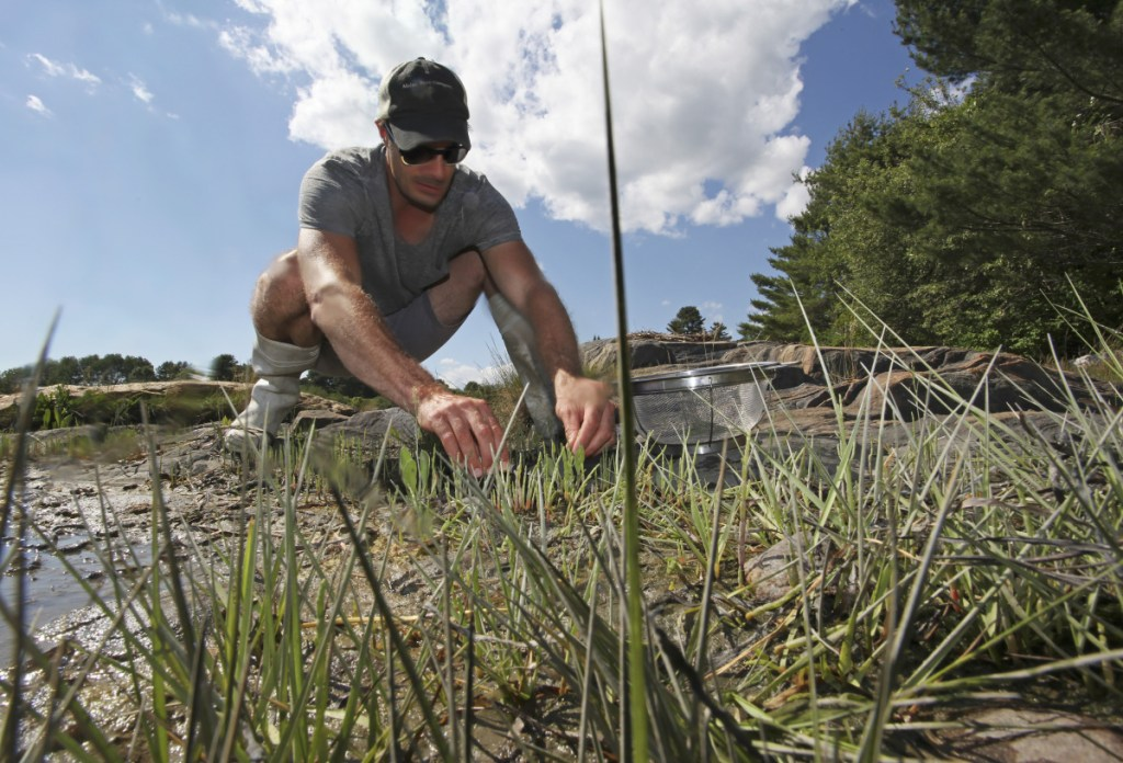 Author/chef Barton Seaver forages for samphire on the bayside of Wolfe's Neck bridge. Seaver is leading a panel on seafood at Maine Historical Society on Thursday.