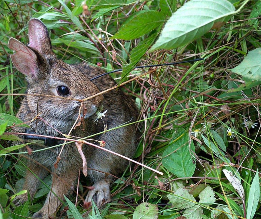 New England cottontail rabbits now number in the mere hundreds. Maine listed the rabbits as endangered in 2006.