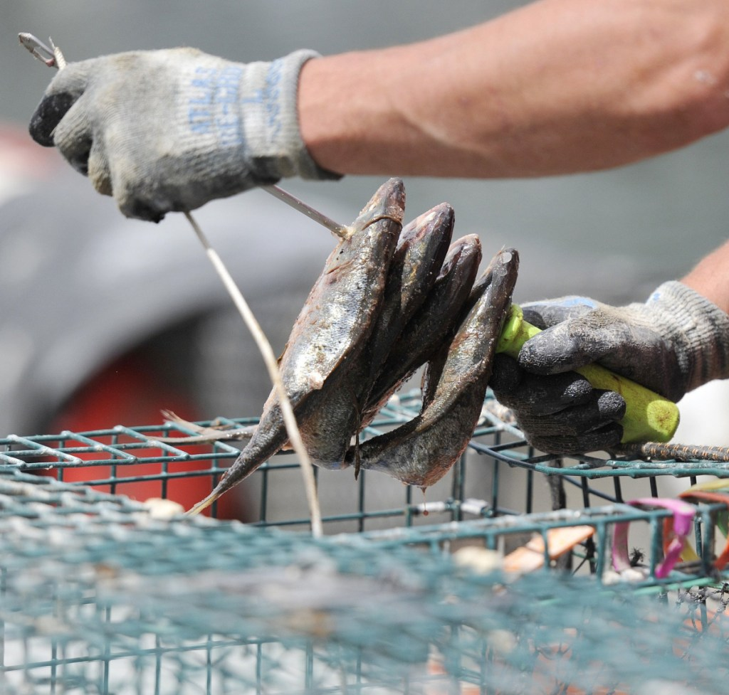 Cuts in the herring quota may make new kinds of bait attractive but they could introduce disease, parasites or invasive species.