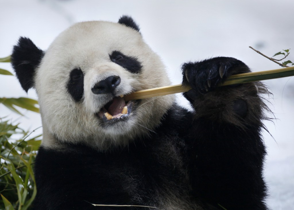 Gao Gao is back in China, where he was born, after a historic partnership with the San Diego Zoo to study panda reproduction and improve success in breeding.