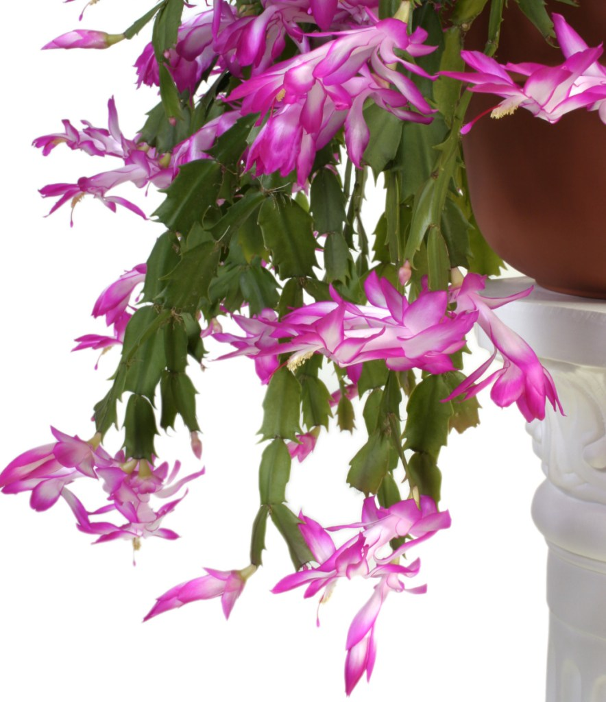 It's a case of mistaken identity. What you think is a Christmas cactus is actually a Thanksgiving cactus.