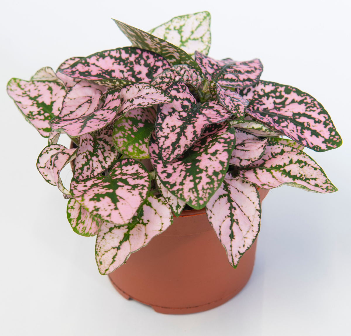 Polka Dot Plants Bring Color In The Long White Winter