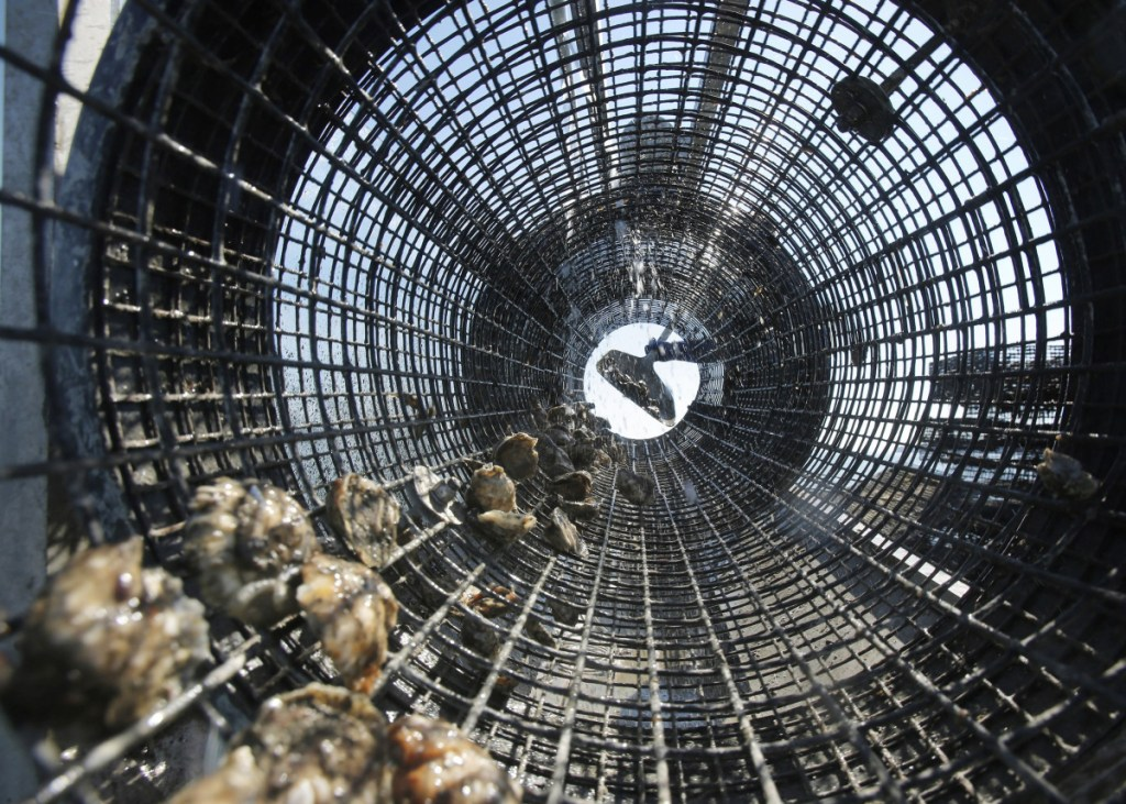 Scientists say the rise of ocean acidification in the Gulf of Maine will affect shell-building species, like these oysters being shoveled into a rinsing cage at Basket Island Oyster in Yarmouth in 2015.