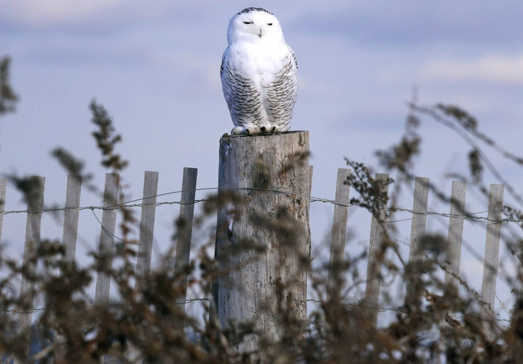 The days of blending in and flying under the radar are over for snowy owls. Technology now allows anyone to see just where a tagged owl is at any moment. Even on a stump.