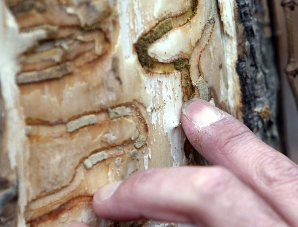 FILE - In this Oct. 26, 2011, file photo, forester Jeff Wiegert of the New York State Department of Environmental Conservation, points out the markings left from emerald ash borer larvae on an ash tree in Saugerties, N.Y., at the Esopus Bend Nature Preserve. Forest stewards in Vermont, New Hampshire and Maine are taking other steps to track and reduce the spread of the beetle, including a ban on moving untreated firewood from state to state. (AP Photo/Mike Groll, File)
