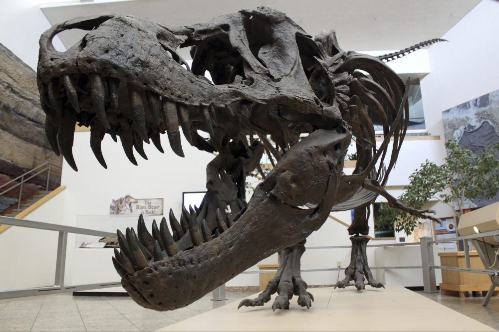 A model of a Tyrannosaurus rex on display in the New Mexico Museum of Natural History and Science in Albuquerque. New research captures a fossilized snapshot of the day nearly 66 million years ago when nearly all life on Earth went extinct, including the dinosaurs.