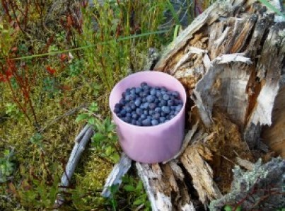 We found enough to make a delicious bilberry pie!