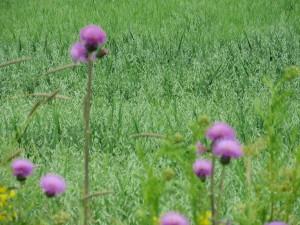 Dagsmark, oat field