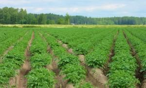 Dagsmark, potato field