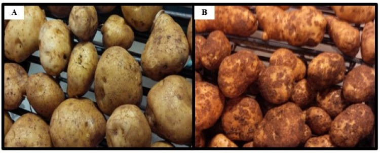 Two side by side photos of potatoes