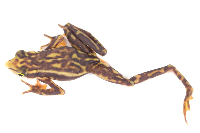 Katak longnose stubfoot
